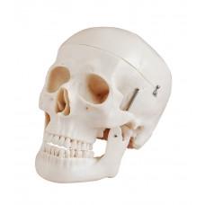 Human skull life size 3 parts