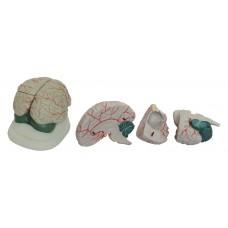 Human brain 3 parts