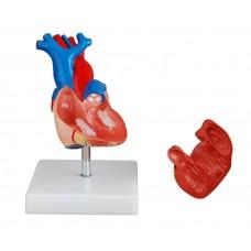Human heart natural size