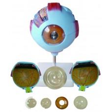 Eye 6 times enlarged